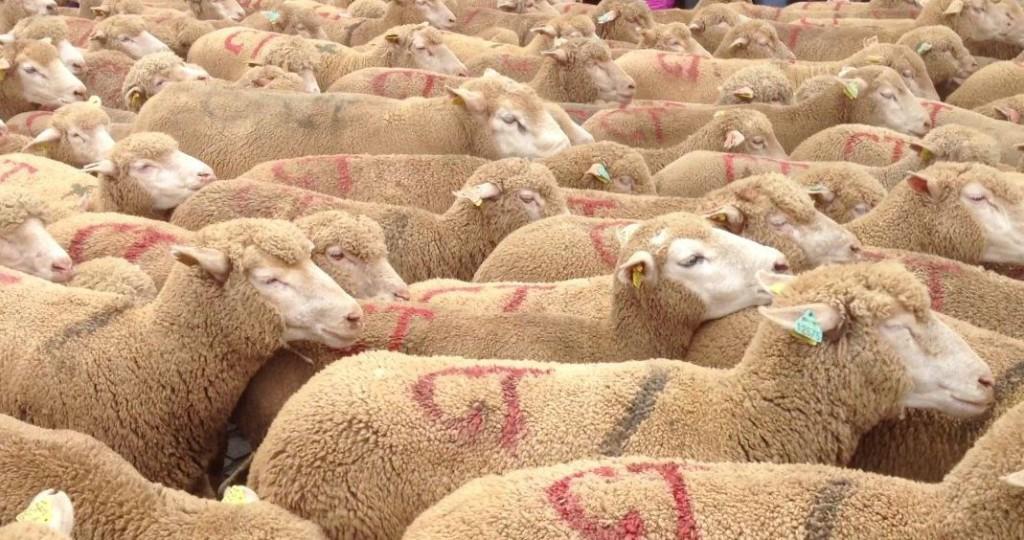 Mouton de Panurge…