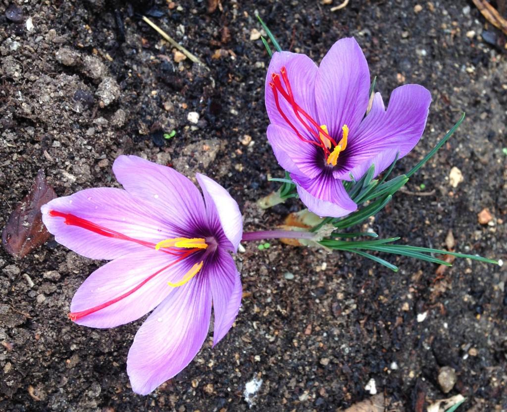 Crocus Sativus - Fleur de safran