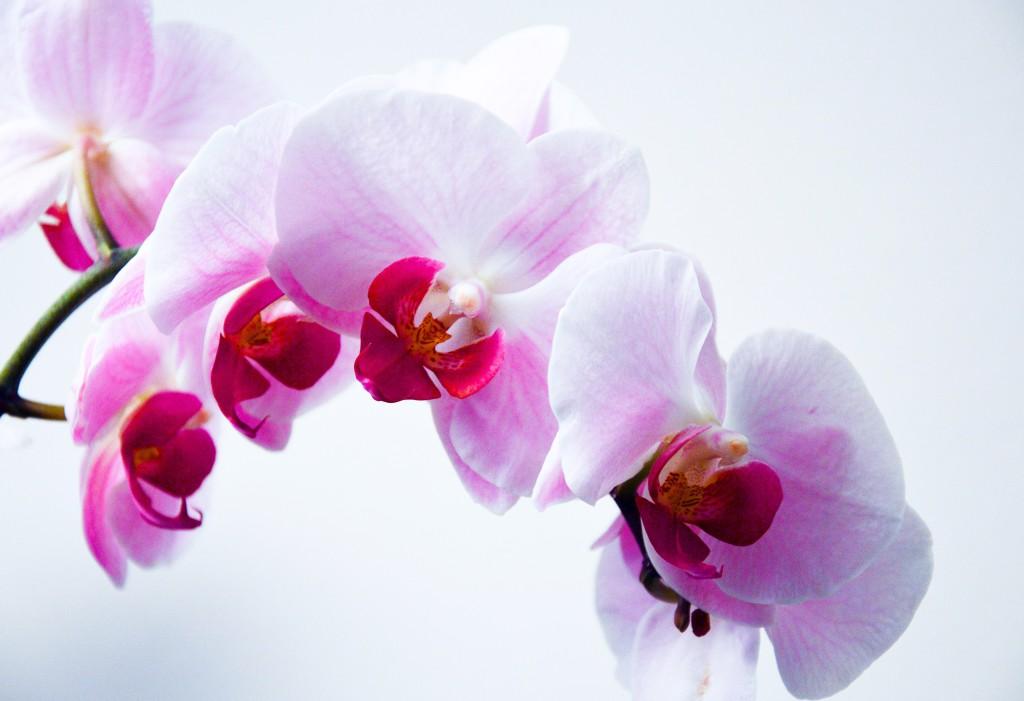 L'orchidée, la star des fleurs !