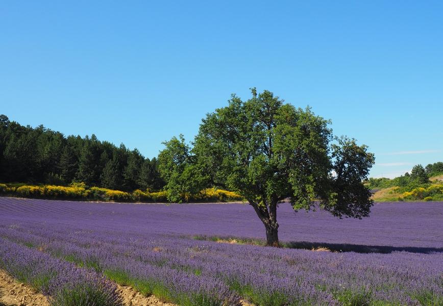 Les Routes De La Lavande En Provence Vers Le Chemin Du