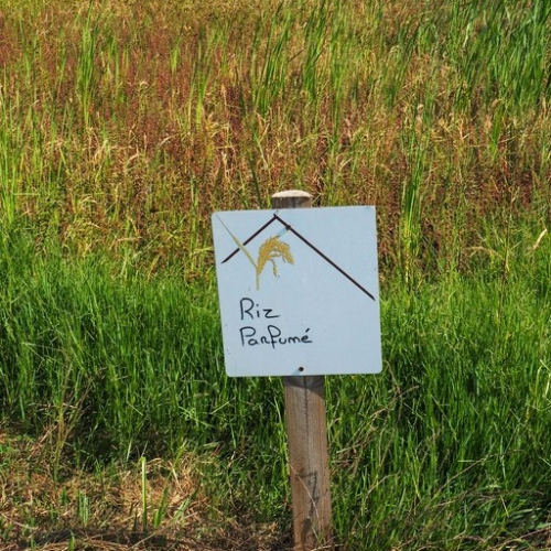 Riz parfumé de Camargue - Maison du riz de Camargue - Albaron - Provence