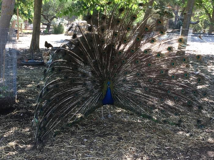 Ferme pédagogique - Paon - Parc de Figuerolles - Martigues